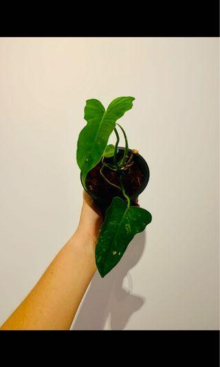 """Philodendron """"green dragon"""""""
