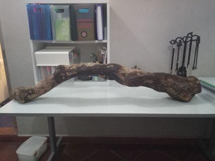 Frangipani Tree Trunk