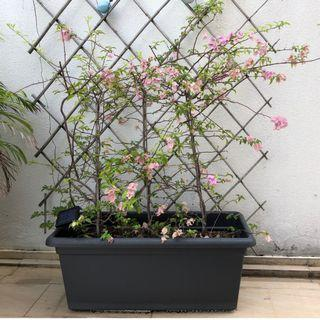 Basic XXL 100cm pots with soil and Bougainvillea 1m