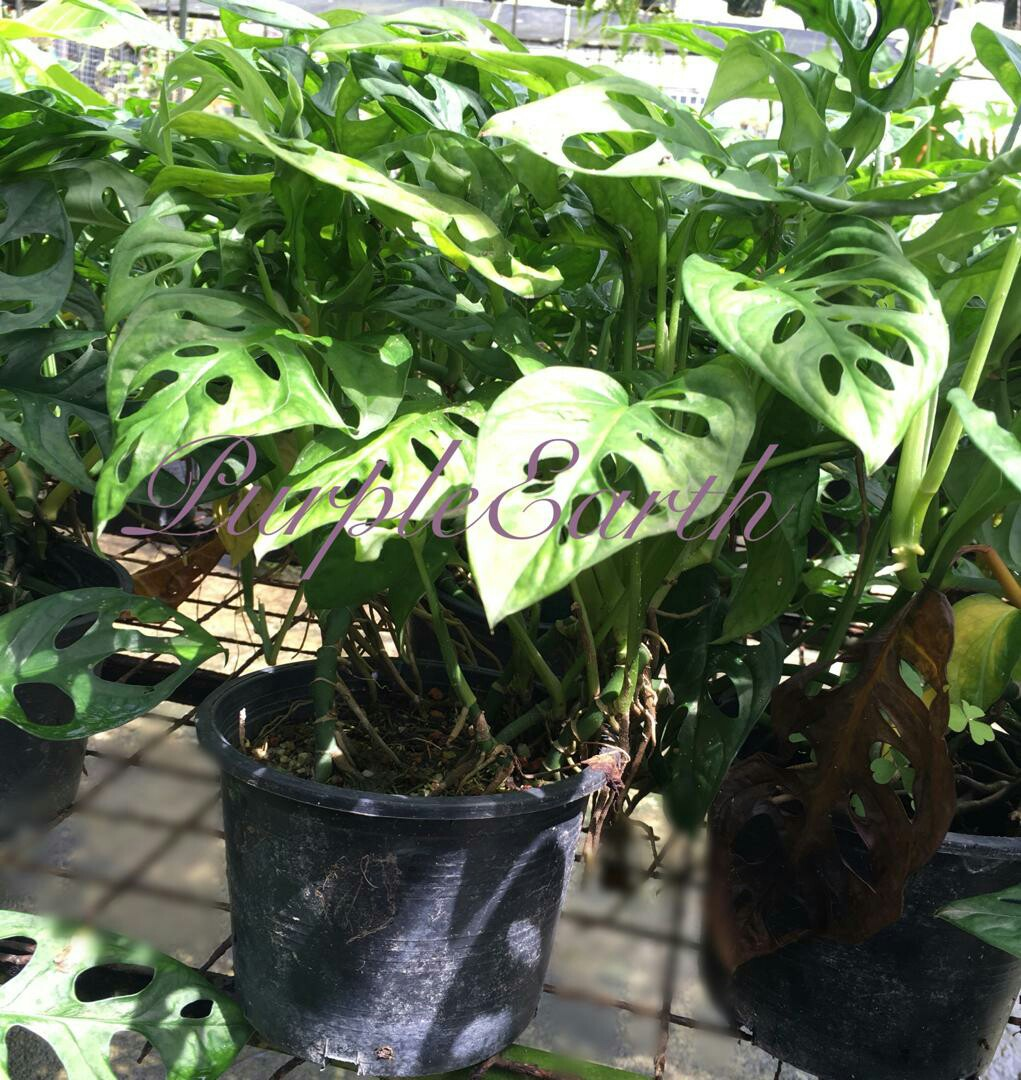 Real Plant - Monstera Adansonii (swiss cheese vine or five holes plant)