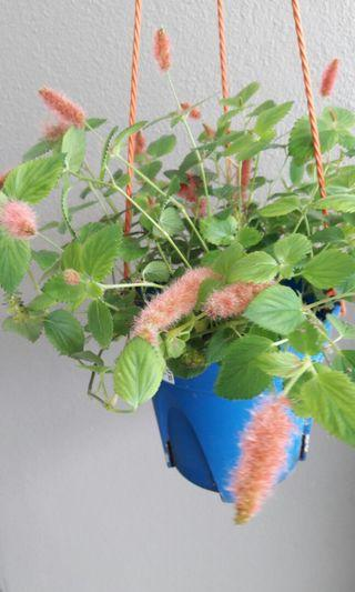 Dwarf or Trailing Chenille Plant, Kitten's Tail, Acalypha pendula, Euphorbiaceae.