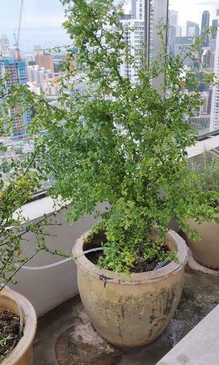 Finger lime plant - green alstonville variety