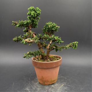 Japan Bonsai Sekka Hinoki Height 16cm Width 20cm