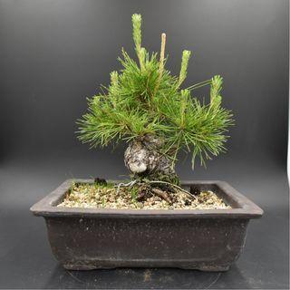 Japan Bonsai Black Pine Height 18cm Width 20cm
