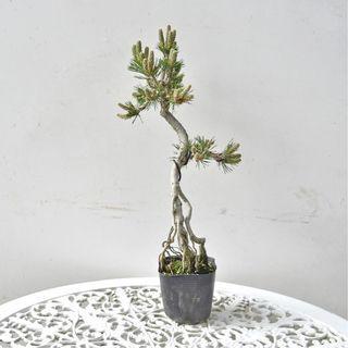 Japan Bonsai Black Pine Senjumaru Height 40cm Width 20cm