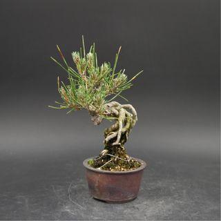 Japan Bonsai Black Pine Height 14cm Width 10cm