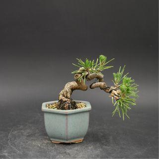 Japan Bonsai Black Pine Height 7cm Width 11cm