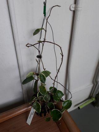 🚚 Hoya Carnosa variegated