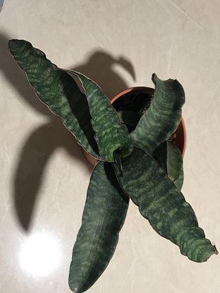 Sanserveria for sale
