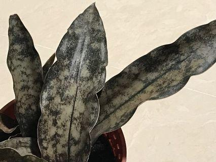 XL Sansevieria Kirkii  Coppertone (snake plant)