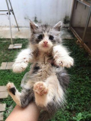 Kucing Mix Maine Coon Kitten
