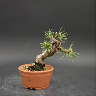 Japan Bonsai Black Pine Height 10cm Width 12cm