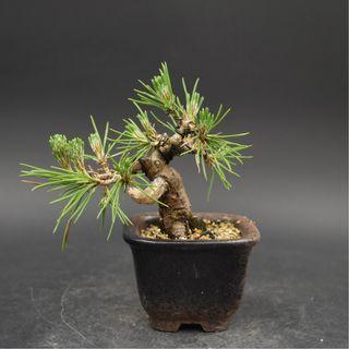 Japan Bonsai Black Pine Height 9cm Width 12cm