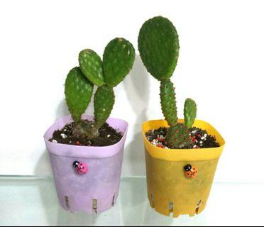 Cinnamon Red Polka dots Bunny ear cactus yellow white dots angel's wings succulent plant garden gift cute A gift that lasts Teacher's Day Children's Day Birthday plant in pretty pot