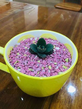 🚚 Succulents