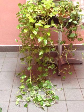 FOC money plant cutting