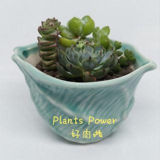 多肉植物 succulent plants