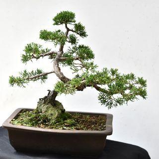 Japan Bonsai Juniper Height 31cm Width 40cm