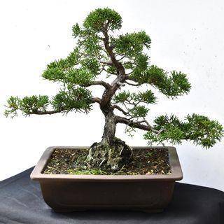 Japan Bonsai Juniper Height 31cm Width 44cm