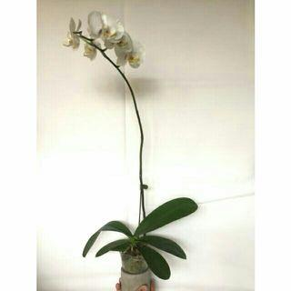 Wow! White Orchid fresh indoor plant pokok orkid