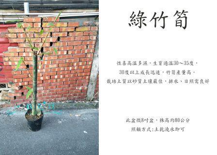 心栽花坊-綠竹筍/9吋/筍子/售價600特價500