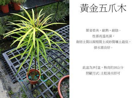 心栽花坊-黃金五爪木/3吋盆/綠化植物/室內植物/觀葉植物/售價50特價40