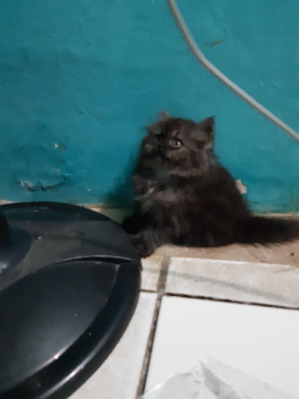 Kucing Persia Medium