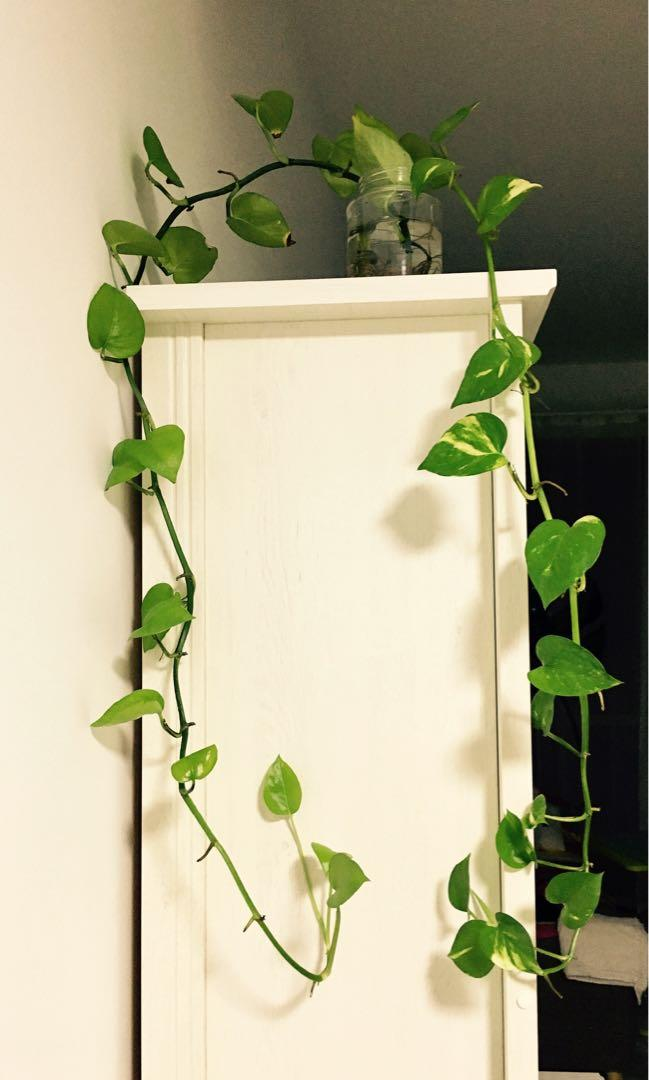 (2-3 cuttings) Minimalism devil's Ivy cuttings for indoor hanging (in water)