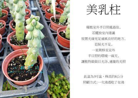 心栽花坊-美乳柱/玉乳柱/玉柱/3吋盆/多肉植物/綠化植物/室內植物/觀葉植物/售價50特價40