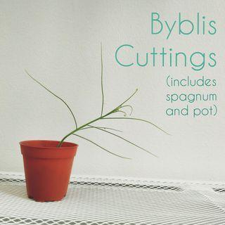 Byblis cuttings