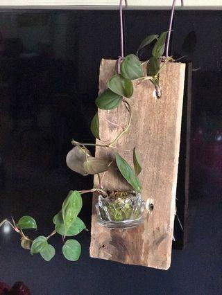 Philodendron micans on hanging wood