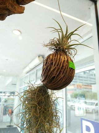 Wow! Air Plant Indoor Hanging Real Plant