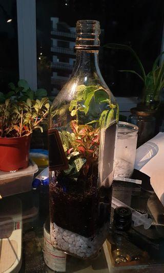 Wine Bottle Liquor Terrarium Black Label
