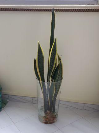 🚚 #blessing 3 Stalks Snake Plant Sansevieria