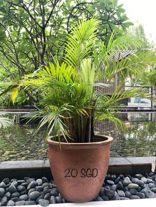 🚚 Palm with Pot