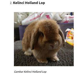 Boleh barter Sepasang Kelinci jenis holland lop