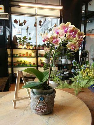Mini Orchids Fresh Indoor Plant