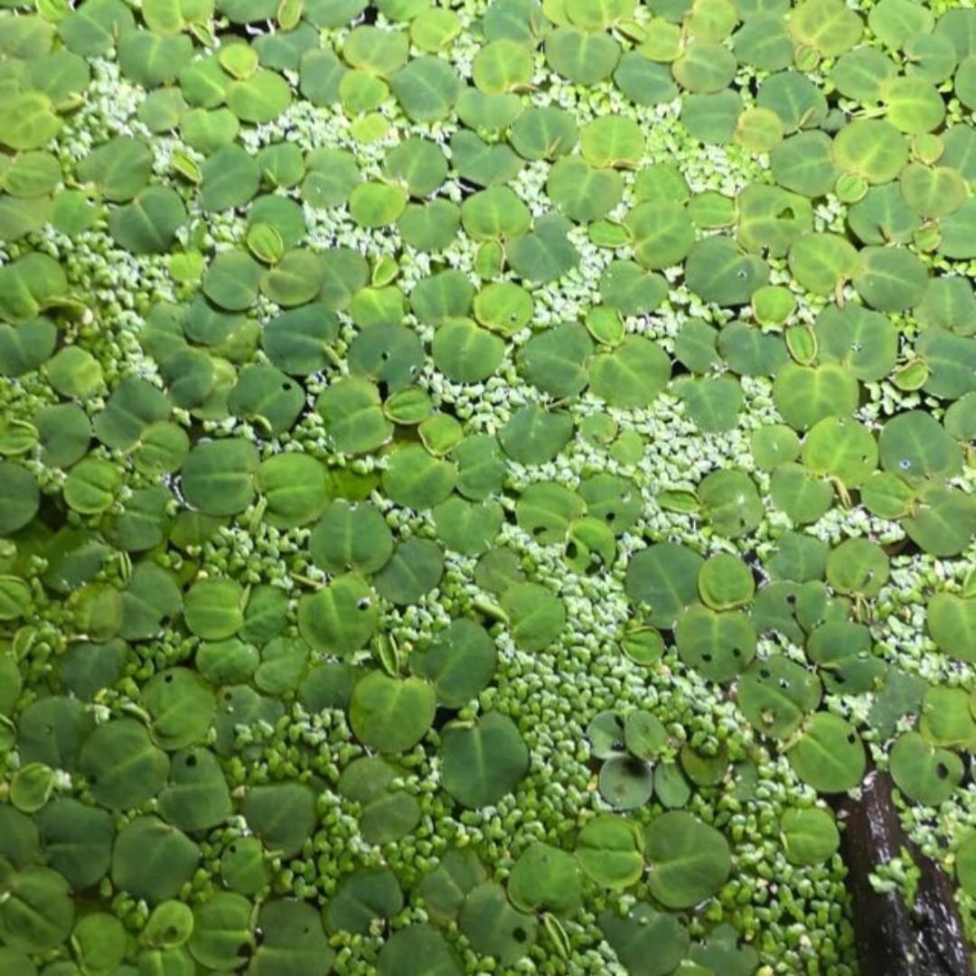Assorted floaters green red root floater duck weed salvinia natans for breeding fry betta guppy frog bit