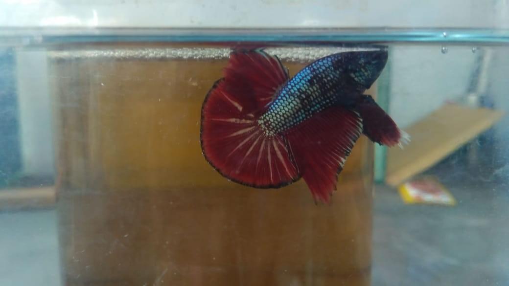 Ikan Cupang Hmpk Red Copper