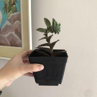 Rare Succulent White Velvet Plant, Furry Ear Plant (Scientific Name: Tradescantia sillamontana)