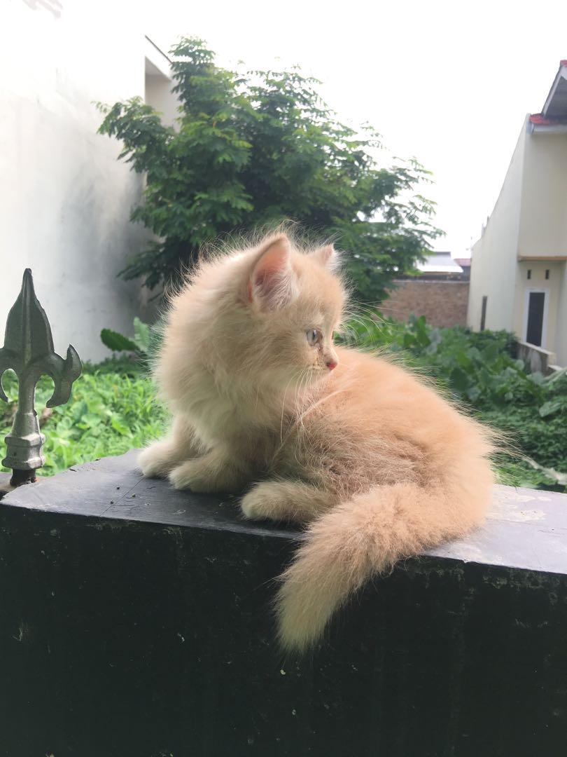 Kucing persia anakan 1,5 bulan