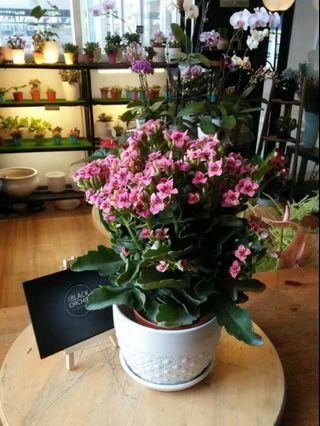 Indoor Fresh Flowers Kalanchoes pokok bunga