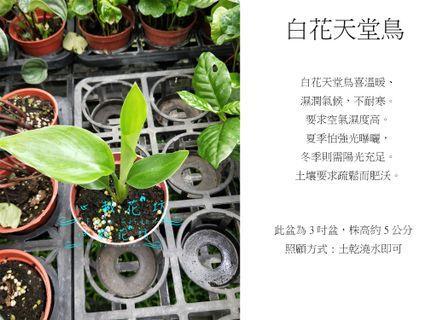 心栽花坊-白花天堂鳥/3吋盆/觀葉植物/室內植物/綠化植物/售價50特價40