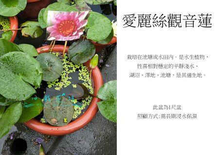 心栽花坊-愛麗絲觀音蓮/睡蓮/1尺吋盆/水生植物/觀花植物/售價360特價300