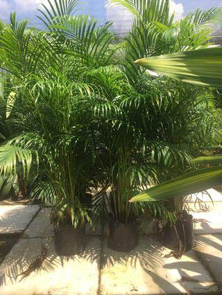Yellow palm 4-4.5 ft