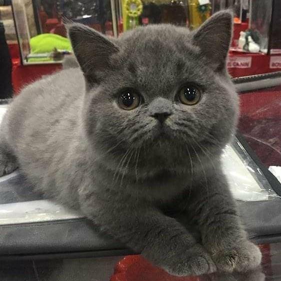 Kucing British short hair