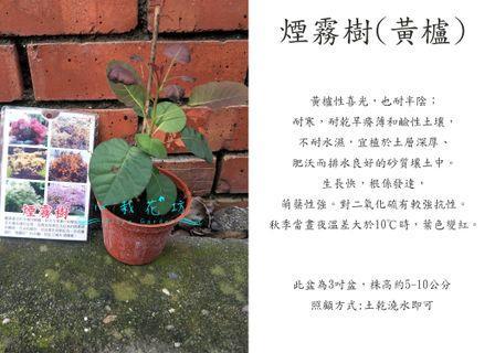 心栽花坊-煙霧樹/黃櫨/實生苗/觀花植物/綠化環境/觀賞價值高/售價400特價300