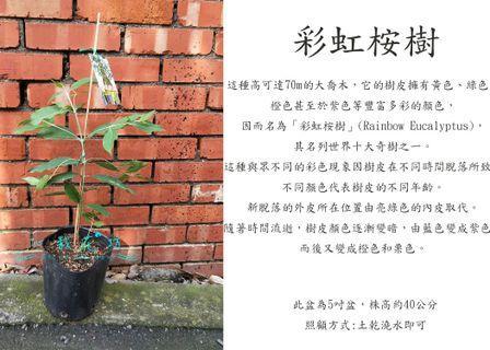 心栽花坊-彩虹桉樹/桉樹/實生苗/綠籬植物/綠化環境/觀賞價值高/售價200特價180