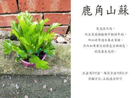 心栽花坊-鹿角山蘇/山蘇/3吋盆/蕨類/綠化植物/室內植物/觀葉植物/售價120特價100