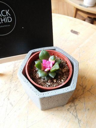 Succulent mini indoor plant real live pokok comel with vase